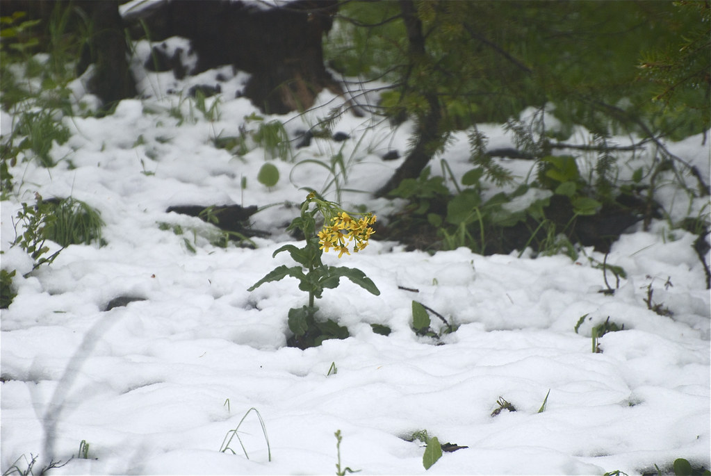 Groundsel in June snow