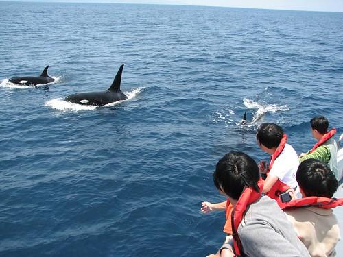 碩大美麗的虎鯨,讓人渴望接近。圖片來源:黑潮海洋文教基金會