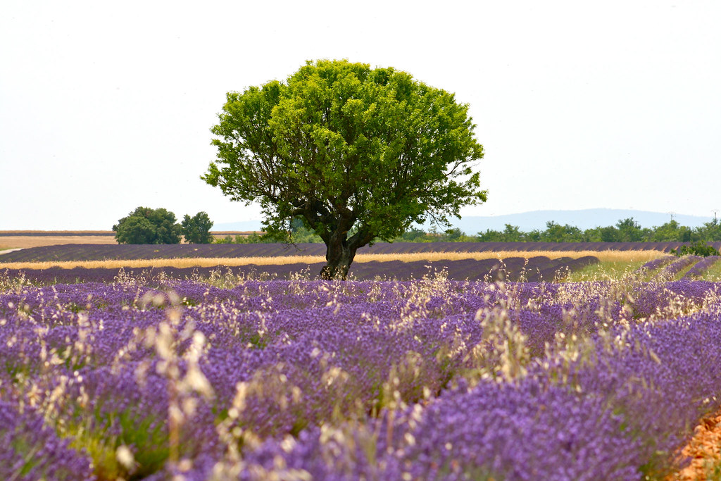 Smell The Spring of Magic And Violet Provence in France