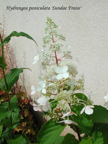 Hydragea paniculata 'Sundae Fraise'