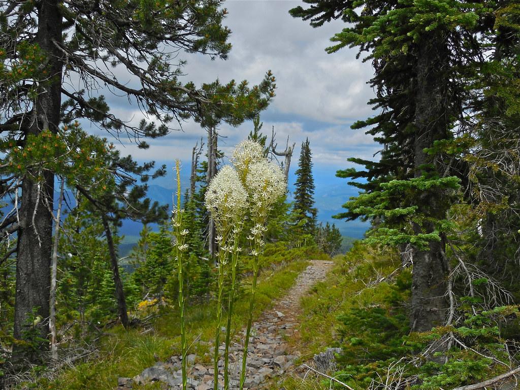 Beargrass on trail 340