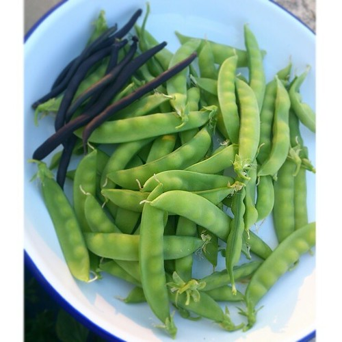 First harvest from the roof: mange tout and purple dwarf beans.