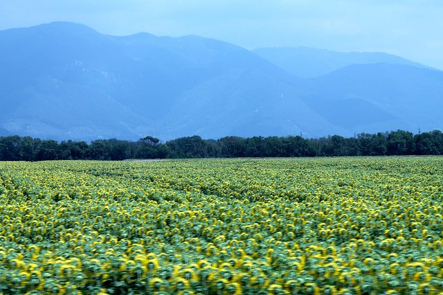 Sunflower Fields + Tuscany