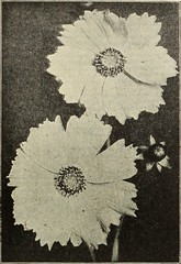 "Image from page 93 of ""Dreer's 1913 garden book"" (1913)"