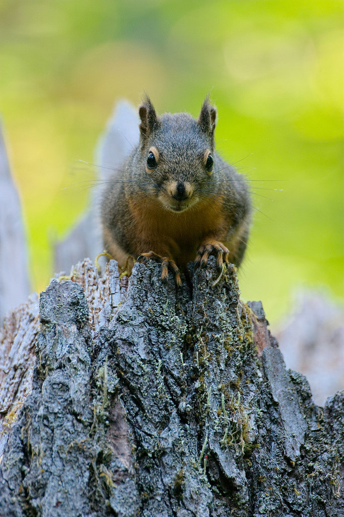A Douglas' squirrel sits atop a tree stump on the Hoh River Trail in the Hoh Rain Forest in Olympic National Park