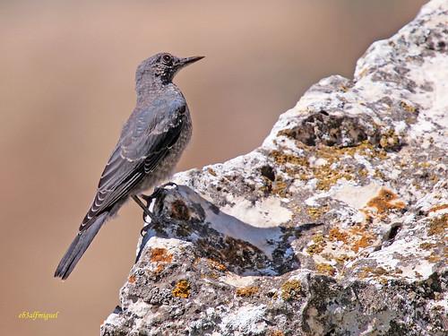 Juveniles de Roquero Solitario (monticola solitarius) (1)