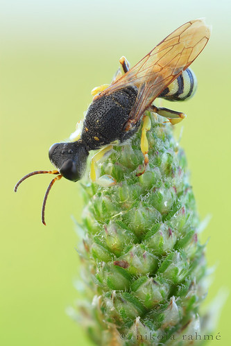 wasp earlymorning naturallight macrophotography hymenoptera focusstack fieldshooting crabronidae canoneos5dmarkii canonmpe65mmf28 zerenestacker manfrotto055protripod newportm423 sunwayfotoquickreleasesystem