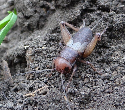 Light Colored Spring Field Cricket