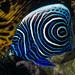Emperor Angelfish, juvenile - Pomacanthus imperator