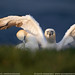 Northern Gannet by Nature's Photo Adventures - David G Hemmings