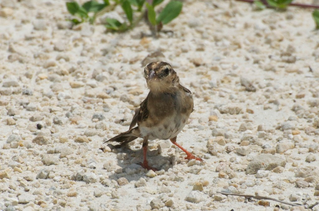 Pin-tailed Whydah in female plumage