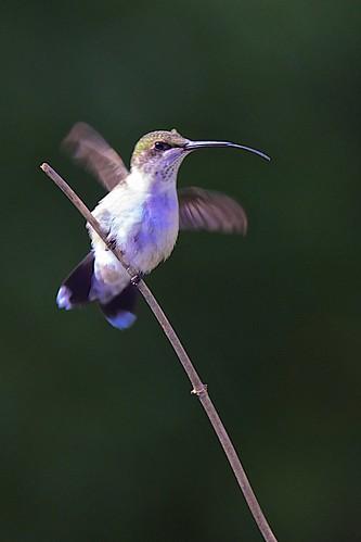 Hummingbird Spit