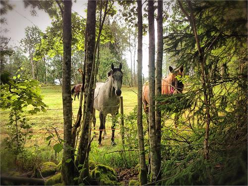 horses horse nature sweden schweden natur iphone häst hästar sandared