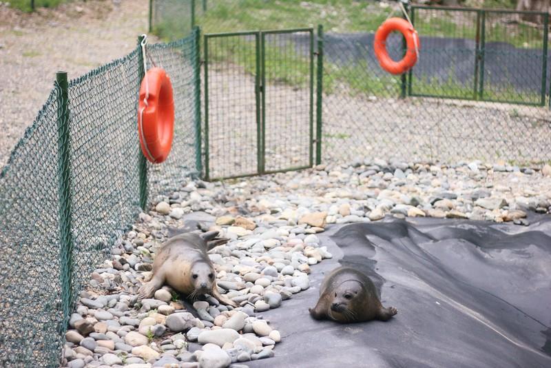 older seal pups