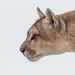 Puma by tiotuyin