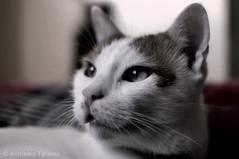 Ciccio il gatto