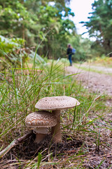 Early  mushroom