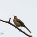 Small photo of Jungle Babbler