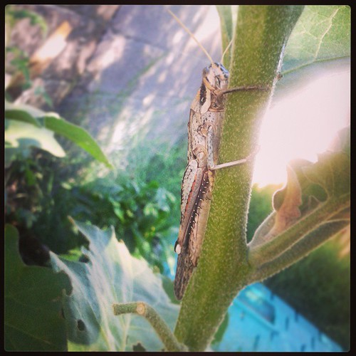 I typically don't play games unless I know I can win.  #grasshopper #hunt #phoenix | by ACME-Nollmeyer