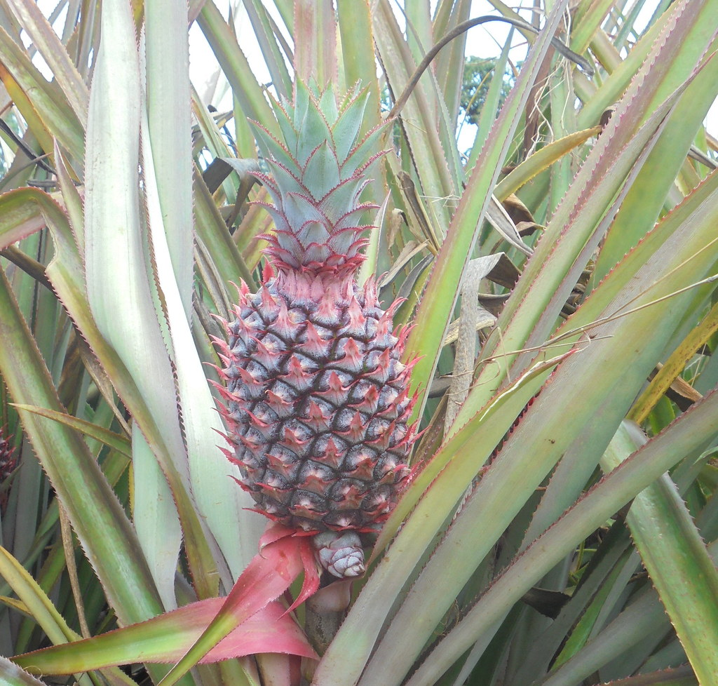 Red Spanish variety of pineapple that was introduced in Sidama, Ethiopia, about 50 years ago (photo by ILRI).