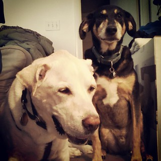 Tut giving some moral support to big brother Zeus while he sits after breakfast #dogstagram #seniordog #megaesophagus #ilovemydogs #brothers #instadog #mybabies #ilovemyseniordog #ilovebigmutts #bigdog #labmix #coonhoundmix