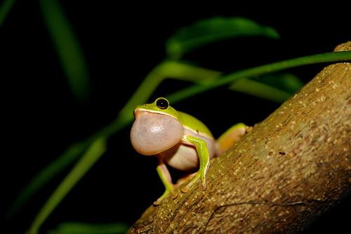 鳴唱中的諸羅樹蛙。(攝影:吳仁邦)
