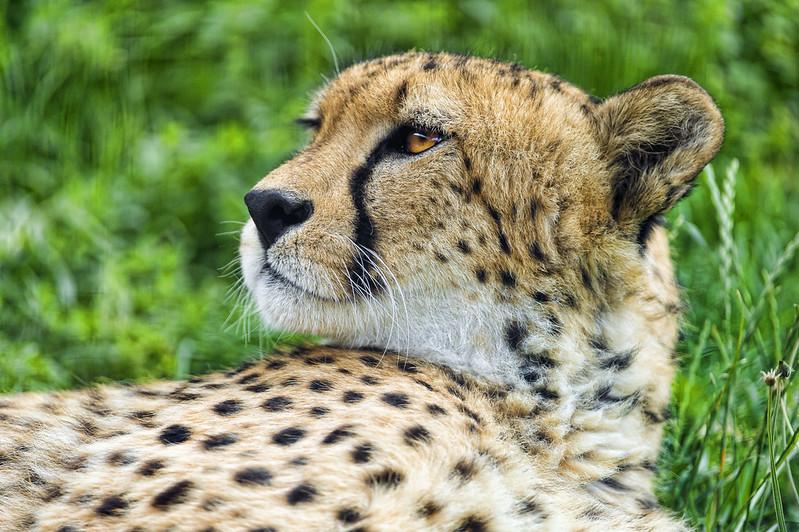 Cheetah nicely lying