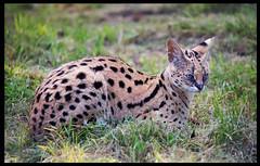 animal, small to medium-sized cats, savannah, mammal, fauna, cat, wild cat, wildlife,