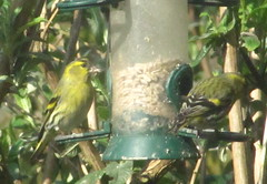 Great to watch the Siskins on the feeder