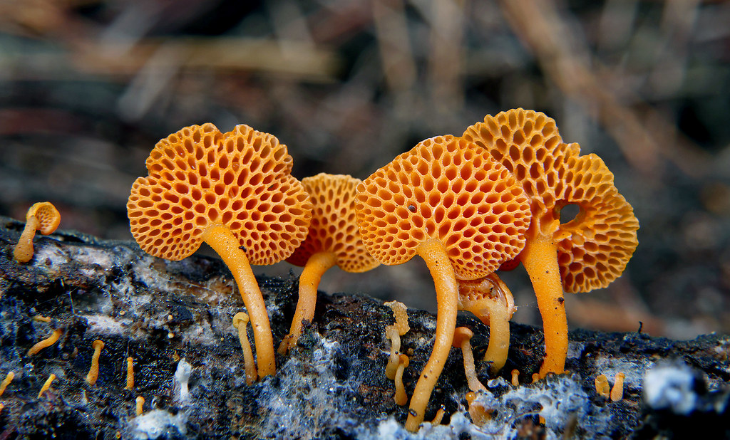 Orange Pore Fungus (Favolaschia calocera)