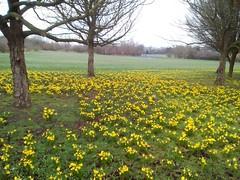 Daffodils west heath park