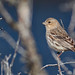 House finch, HUOE6528 by Peacefulbirder