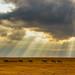 Zebra Panorama 2, Ngorongoro Crater, Tanzania by Poulomee Basu