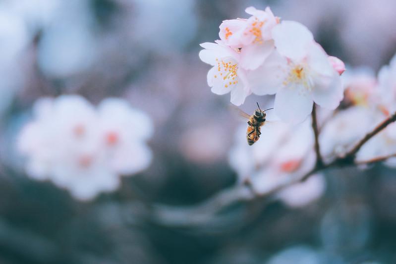 小蜜蜂&大漁櫻|Cherry Blossom