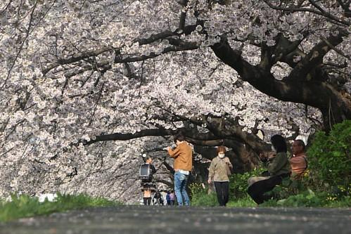 佐奈川の桜並木。  地元の豊川では桜並木が満開状態!! 天気が悪かったので、昼間にしか見に行くことができませんでしたが、来年は月夜や星空と撮影もしてみたいところ。  次の土日は良い天気になってくれ( ・∇・)  #canon #写真 #桜 #春 #豊川 #愛知 #佐奈川