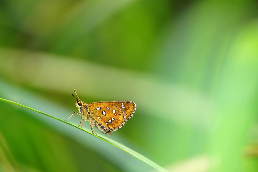 白斑弄蝶屬白斑弄蝶14S101