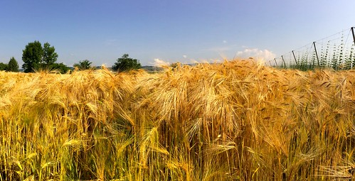 summer sky wheat slovenia niceview