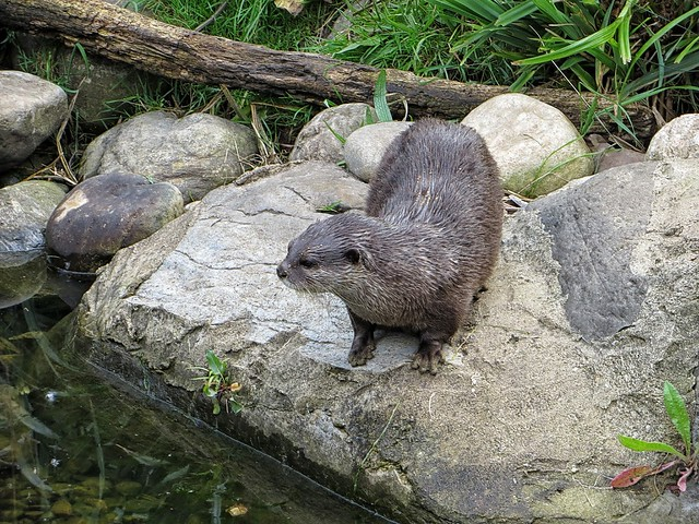 Asian short-clawed otter