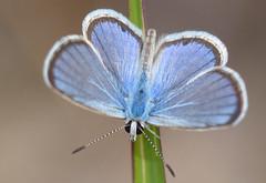 Hanno Blue (hemiargus hanno)