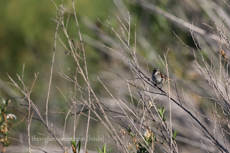050414_hansenDam24_sparrow