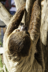 animal(1.0), fur(1.0), three toed sloth(1.0), zoo(1.0), mammal(1.0), fauna(1.0), close-up(1.0), whiskers(1.0), wildlife(1.0),