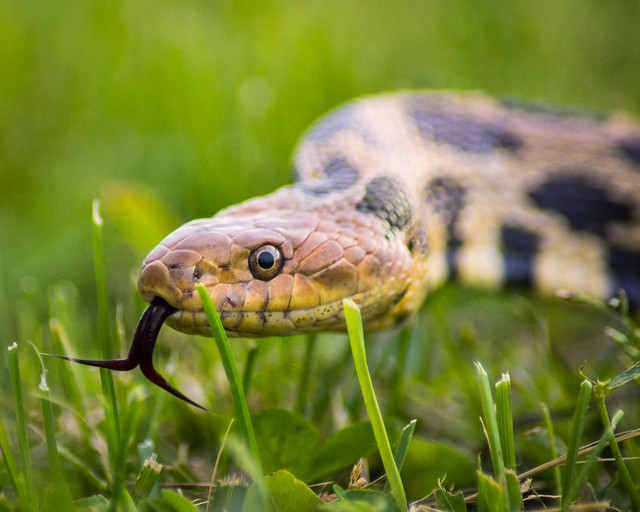 Snake, Tongue, Forked Tongue, Grass