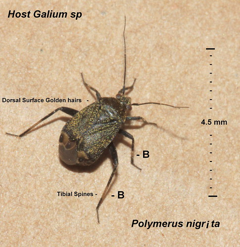 Polymerus nigrita 30926_1
