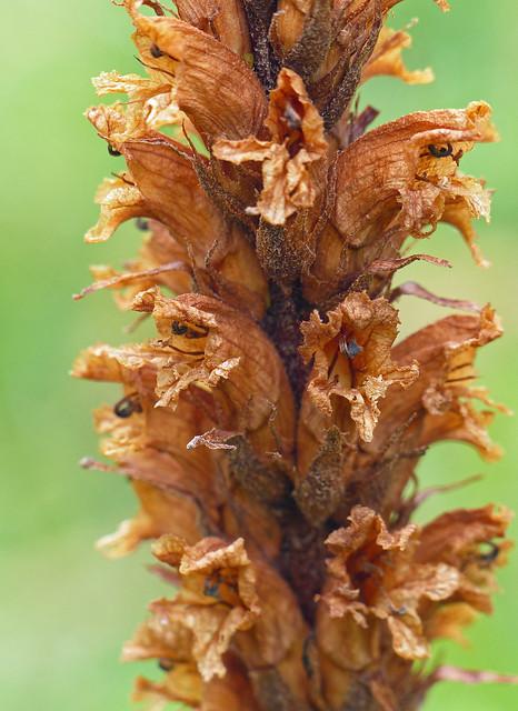 Knapweed Broomrape (orobanche elatior)