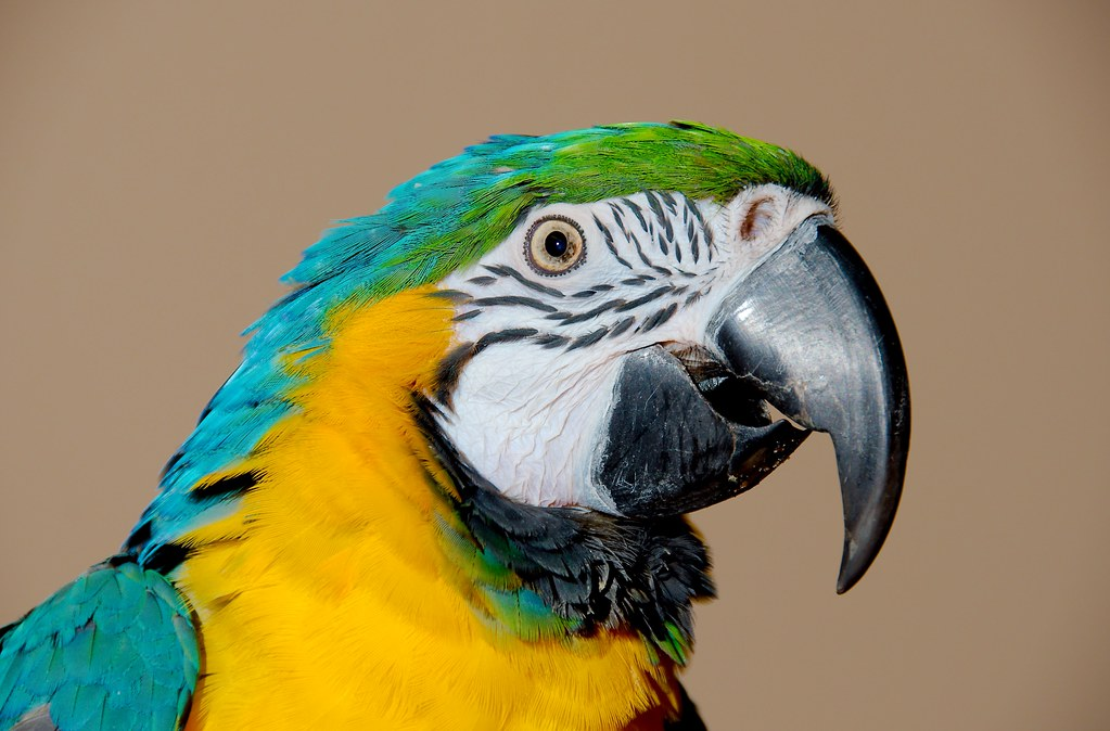 Blue-and-yellow Macaw_7