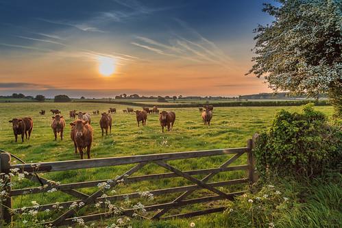 england tree sunrise cow spring unitedkingdom westonbirt hawthorn animalsdomesticated