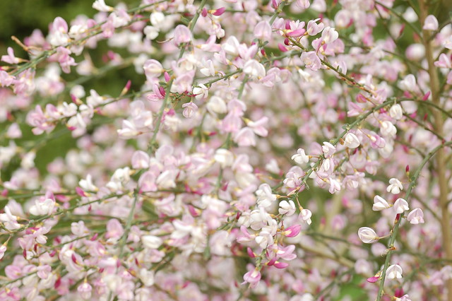 A cloud of pale pink cytisus flowers