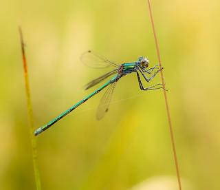 Emerald Damselfly