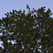 Bald Eagle in Tree - 1