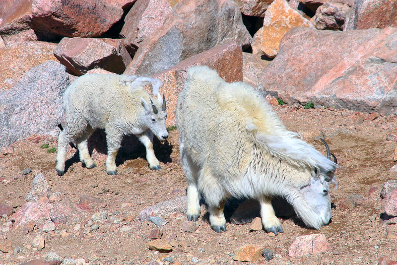 IMG_4672 Mineral Lick of Mountain Goat